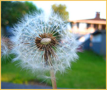 june4-dandelion.jpg