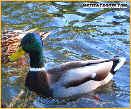oct-25-09-central-park-ducks2